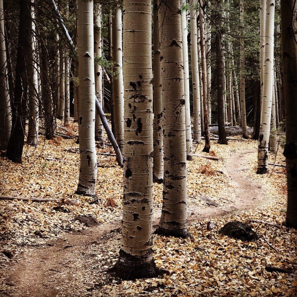 aspens trees single track